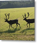 Reindeers On Swedish Fjeld Metal Print