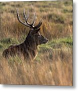 Relaxing Deer Metal Print