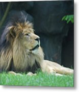 Relaxing Lion With A Thick Black Fur Mane Metal Print