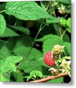 Remembering One Sweet Rasberry Metal Print