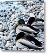 Resting Ducks Metal Print