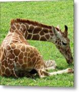 Resting Giraffe Metal Print