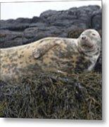 Resting Gray Seal On Seaweed Metal Print