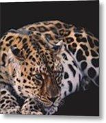 Resting Leopard  Metal Print
