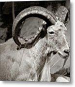 Resting Ram Metal Print