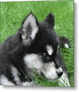 Resting Two Month Old Alusky Puppy Dog In Grass Metal Print