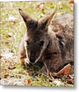 Resting Wallaby Metal Print