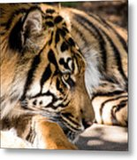 Resting Yet Watchful Tiger Metal Print