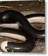 Reticulate Worm Snake Metal Print