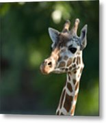 Reticulated Giraffe At The Omaha Zoo Metal Print