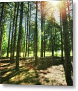 Retzer Nature Center Pine Trees Metal Print