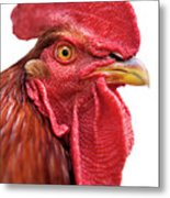 Rhode Island Red Rooster Isolated On White Metal Print