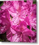 Rhododendron-close Up1 Metal Print