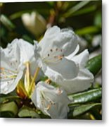 Rhododendron I Metal Print
