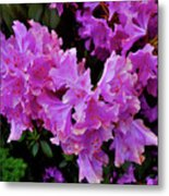 Rhododendron Pink Metal Print