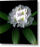 Rhody Queen - White Metal Print