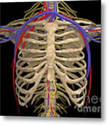 Rib Cage With Nerves, Arteries Metal Print
