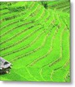 Rice Field Terraces Metal Print