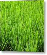 Rice Plants Metal Print