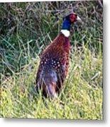 Ring Neck Pheasant Metal Print