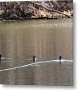 Ring-necked Duck Formation Metal Print
