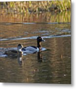 Ring Necked Duck Metal Print