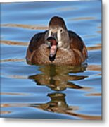 Ring-necked Duck Spring Call Metal Print