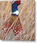 Ring-necked Pheasant  Metal Print