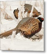 Ring-necked Pheasant Hunting In The Snow Metal Print