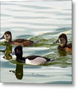 Ring-necked Trio Metal Print