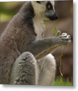 Ring-tailed Lemur Holding A Clump Of Grass Metal Print