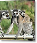 Ring Tailed Lemurs With Baby Metal Print