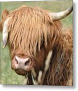 Ringo - Highland Cow Metal Print