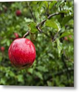 Ripe Apples. Metal Print by John Greim