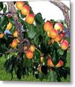 Ripe Apricots Metal Print