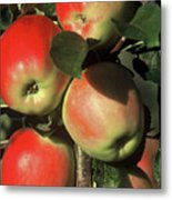 Ripening Apples Metal Print