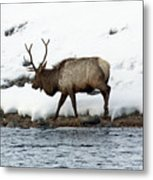 Riverside Elk Metal Print