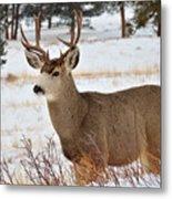 Rmnp Mule Deer 2 Metal Print