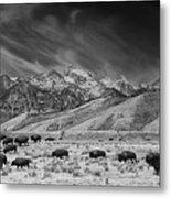 Roaming Bison In Black And White Metal Print