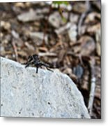 Robber Fly Sitting Metal Print