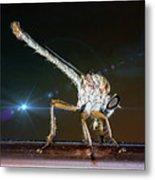 Robber Fly With It's Prey- Efferia Albibarbis Metal Print