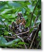 Robin Chicks In Nest. Metal Print
