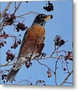 Robin Eating A Red Berry Metal Print
