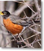 Robin Eating Metal Print by Chris Hill