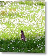 Robin In A Field Of Daisies Metal Print