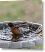 Robin In Bird Bath New Jersey  Metal Print