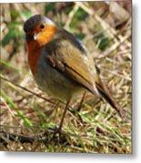 Robin In Hedgerow 3 Metal Print