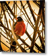 Robin In Late Sun Metal Print