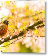 Robin In Spring Blossom Cherry Tree Metal Print