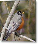 Robin In Tree 2 Metal Print